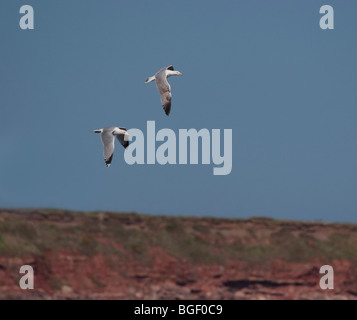 Herring gull, Larus argentatus, flying over Montrose Bay Scotland - Stock Photo