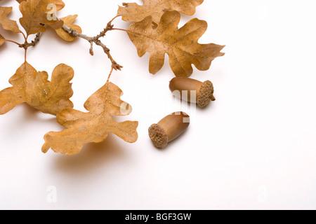 Symbols of autumn oak leaves and acorns isolated on a plain white background - Stock Photo