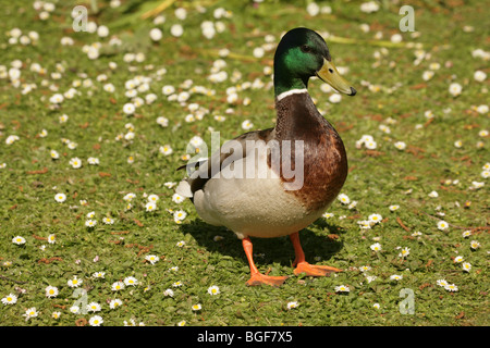 Mallard Duck (Anas platyrhynchos). Drake or male on a Daisy (Bellis perennis) covered lawn. - Stock Photo