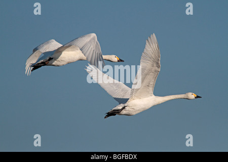 A pair of adult Bewick's Swans in flight - Stock Photo