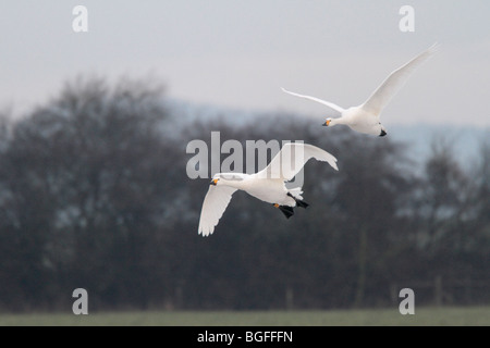 Two adult Bewick's swans in flight - Stock Photo