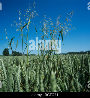 Wild oat (Avena fatua) panicles in wheat crop in ear - Stock Photo
