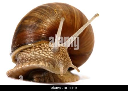 Edible snail on the white background - Stock Photo
