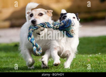 Jack Russell's playing - Stock Photo