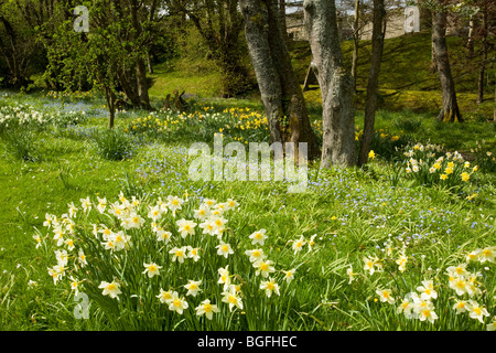 Surprising Daffodils Kailzie Gardens Peebles Scottish Borders Stock Photo  With Luxury Daffodils Kailzie Gardens Peebles Scottish Borders  Stock Photo With Divine Planting A Spring Garden Also How To Keep Cats Away From Your Garden In Addition Garden Gear And Rattan Garden Furniture Cube Sets As Well As Garden Accessories Sydney Additionally Stone And Fire Covent Garden From Alamycom With   Luxury Daffodils Kailzie Gardens Peebles Scottish Borders Stock Photo  With Divine Daffodils Kailzie Gardens Peebles Scottish Borders  Stock Photo And Surprising Planting A Spring Garden Also How To Keep Cats Away From Your Garden In Addition Garden Gear From Alamycom