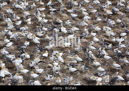 Gannet colony at Otakamiro Point in Muriwai Regional Park. Muriwai, Auckland, New Zealand - Stock Photo