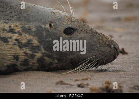 atlantic grey seal halichoerus grypus - Stock Photo