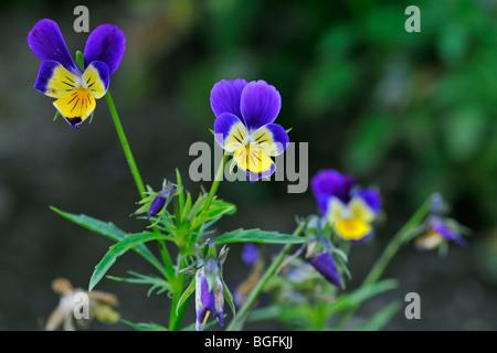 Wild pansies / heartsease / heart's ease (Viola tricolor) in flower in spring - Stock Photo