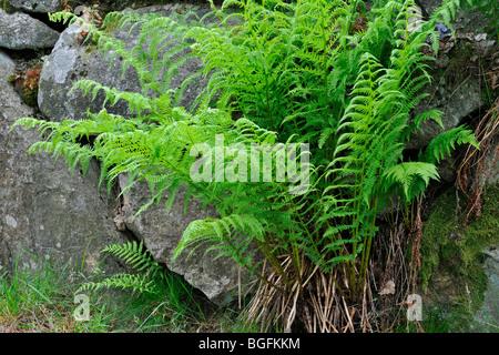 Common Lady-fern / lady fern (Athyrium filix-femina) growing among rocks - Stock Photo