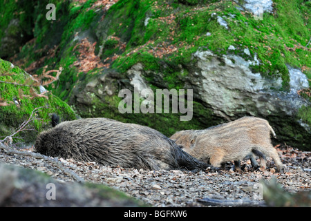 Wild boar sow suckling piglets (Sus scrofa) in forest - Stock Photo