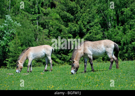 Przewalski's horse (Equus ferus przewalskii) and foal on edge of forest, native to Mongolia - Stock Photo