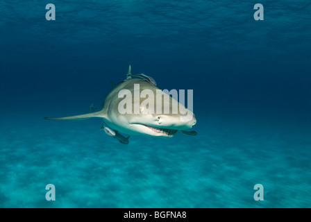 A Lemon Shark (Negaprion brevirostris) with remora in the blue waters of the Bahamas - Stock Photo