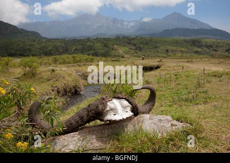 Cape Buffalo horns, Arusha National Park, Tanzania, East Africa. - Stock Photo