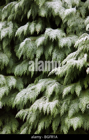 Lawson's Cypress, Chamaecypris lawsoniana, covered in frost - Stock Photo