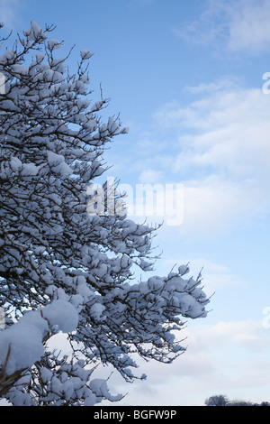 Branches of a tall tree snow covered against a bright blue sky in England during mid winter - Stock Photo