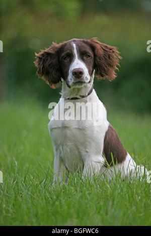 Springer Spaniel Dog - Stock Photo