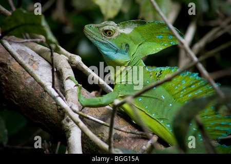 Plumed basilisk (Basiliscus plumifrons), also known as a Jesus Christ lizard, with characteristic crest. - Stock Photo