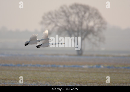Whooper Swan Cygnus cygnus  in flight snow winter - Stock Photo