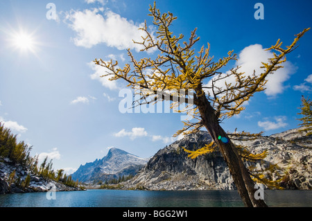 A Larch tree in Autumn next to Perfection lake with Little Annapurna in the distance, Enchantment Lakes Wilderness - Stock Photo