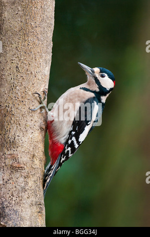 Great Spotted Woodpecker - Stock Photo