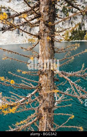 Detail view of a Larch tree next to Inspiration Lake, Enchantment Lakes Wilderness Area, Washington Cascades, USA. - Stock Photo