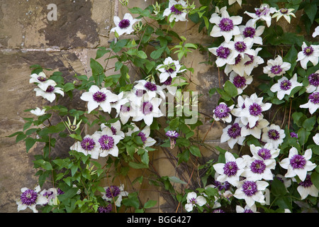 Clematis florida Sieboldii a fine floriferous specimen of this usually weak growing clematis - Stock Photo