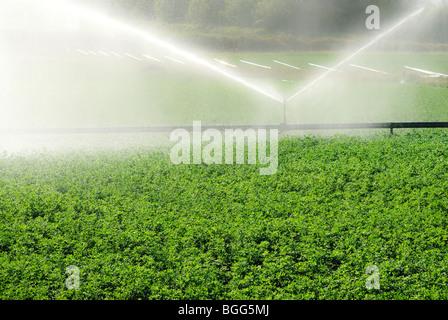 Lucerne crop being irrigated in Queensland Australia - Stock Photo