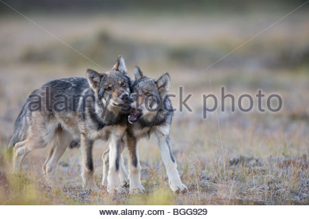 Wolf, Canis lupus, pups of Grant Creek pack play, alpine tundra, autumn, Denali National Park, Alaska, horizontal, - Stock Photo