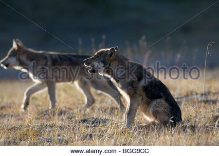 Wolf, Canis lupus, pup of Grant Creek pack, alpine tundra, autumn, howling, horizontal, Denali National Park, Alaska, - Stock Photo