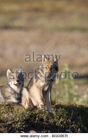 Wolf, Canis lupus, pups rest on autumn tundra, Grant Creek pack, vertical, Denali National Park, Alaska, wild - Stock Photo