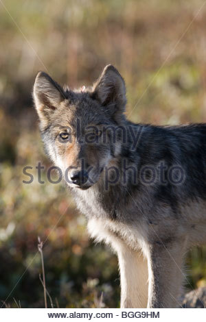 Wolf, Canis lupus, pup, autumn, alpine tundra, Grant Creek pack, Denali National Park, Alaska, vertical, wild - Stock Photo
