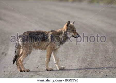 Wolf, Canis lupus, pup of Grant Creek pack, walking on dirt road, Denali National Park, Alaska, horizontal, wild - Stock Photo