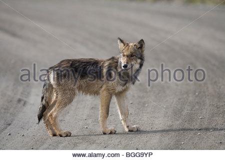 Wolf, Canis lupus, pup of Grant Creek pack, walking on dirt road, Denali National Park, Alaska, horizontal, wild - Stock Photo