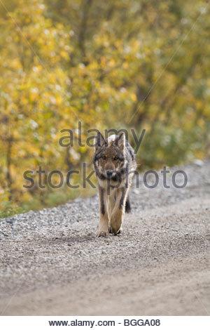 Wolf, Canis lupus, pup, autumn, walking on dirt road, Grant Creek pack, Denali National Park, Alaska, vertical, - Stock Photo