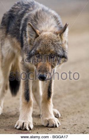 Wolf, Canis lupus, pup, autumn, on dirt road, closeup, Grant Creek pack, Denali National Park, Alaska, vertical, - Stock Photo