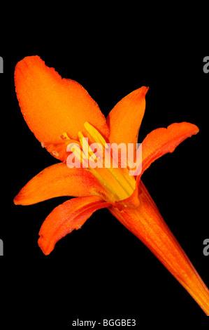Orange Crocosmia flower (Crocosmia masonorum), close-up of single flower, growing wild, Oxfordshire, UK. - Stock Photo