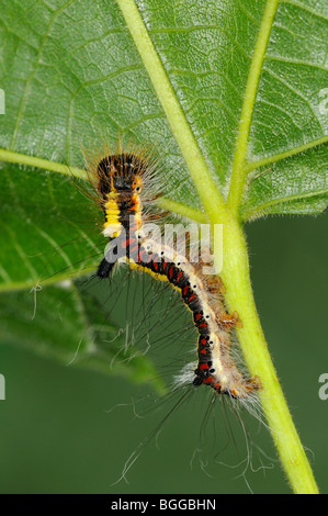 Caterpillar of Grey Dagger Moth (Acronicta psi) feeding on Lime tree leaf, Oxfordshire, UK. - Stock Photo