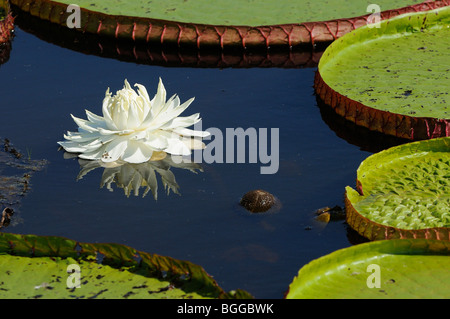 Giant Water Lily (Victoria amazonica) showing white flower and leaves, Pantanal, Brazil. - Stock Photo