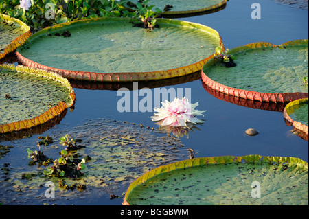 Giant Water Lily (Victoria amazonica) showing leaves and flower, Pantanal, Brazil. - Stock Photo
