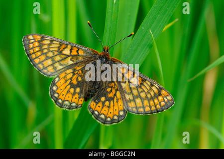 Marsh Fritillary Butterfly (Eurodryas aurinia) resting on blade of grass, Oxfordshire, UK. - Stock Photo