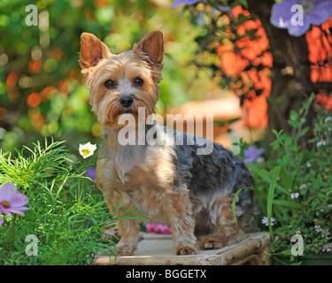 yorkshire terrier in the garden - Stock Photo