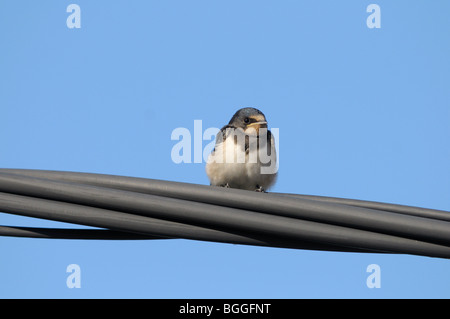 Barn Swallow (Hirundo rustica) sitting on a power line, close-up, low angle view - Stock Photo