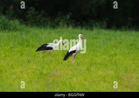 Two White Storks (Ciconia ciconia) on the meadow, Styria, Austria - Stock Photo