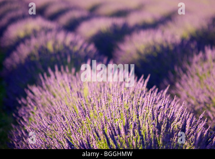 Lavender Fields, Grignan, Provence, France, Europe - Stock Photo