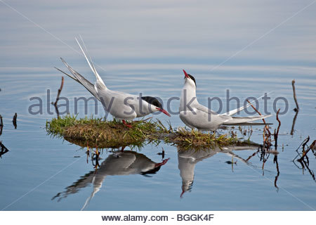 Pair of adult Arctic terns (Sterna paradisaea) in breeding plumage facing each other in a mating ritual, one with - Stock Photo