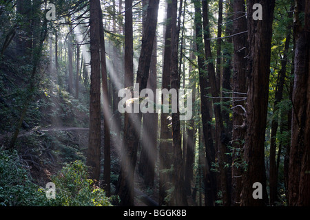 Rays of sunlight shine through the trees at Muir Woods National Monument, Marin County, California, United States - Stock Photo