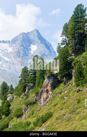 Swiss Pines (Pinus cembra) on a slope in Zillertal Alps, Tyrol, Austria, high angle view - Stock Photo