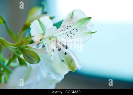 Peruvian Lily or Lily of the Incas (Alstroemeria) near ship's window - Stock Photo