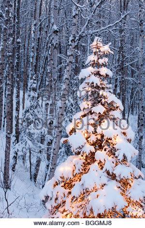 Alaska, Wasilla Single lit spruce tree in birch/spruce forest. - Stock Photo