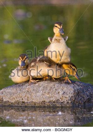 Alaska. Mallard (Anas platyrhynchos) ducklings resting on a rock in Cheney lake, Anchorage. - Stock Photo